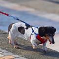 写真: お散歩ワンコ@湘南・鵠沼海岸 #湘南 #藤沢 #海 #波 #wave #surfing #mysky #犬 #dog #animal
