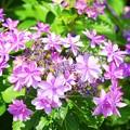 写真: 紫陽花・ダンスパーティー #鎌倉 #湘南 #kamakura #寺 #temple #長谷寺 #花 #flower #紫陽花