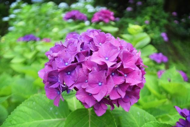 見頃を迎えた円覚寺の紫陽花 #鎌倉 #kamakura #湘南 #寺 #temple #花 #flower #紫陽花