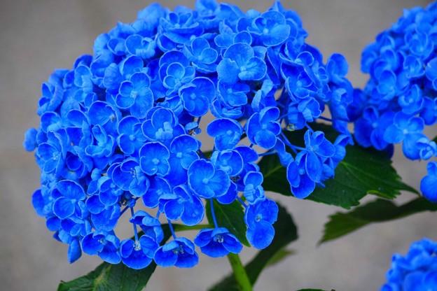 渦紫陽花@円覚寺 #鎌倉 #kamakura #湘南 #寺 #temple #花 #flower #紫陽花