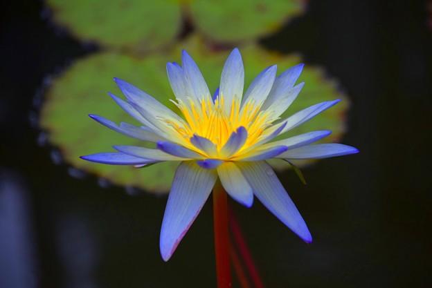 睡蓮・グリーンスモーク #鎌倉 #kamakura #花 #flower #睡蓮