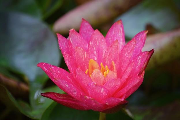 睡蓮・ワンビサ #鎌倉 #kamakura #花 #flower #睡蓮