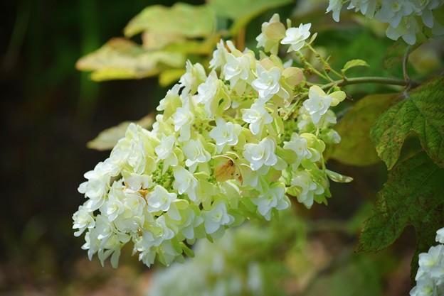 柏葉紫陽花 #鎌倉 #kamakura #花 #flower #紫陽花 #アジサイ