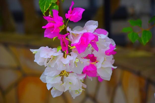 ブーゲンビリア #鎌倉 #kamakura #花 #flower #ブーゲンビリア