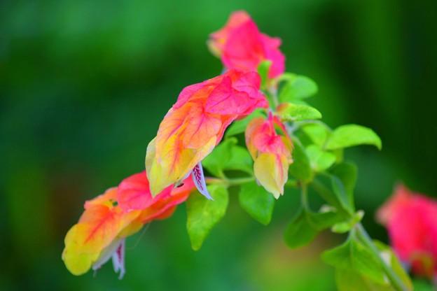 小海老草 #鎌倉 #kamakura #花 #flower