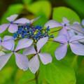 写真: 額紫陽花 雲居鶴 #鎌倉 #湘南 #kamakura #temple #寺 #花 #flower #紫陽花