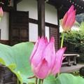 写真: 光則寺の大賀蓮 #鎌倉 #湘南 #kamakura #temple #寺 #花 #flower #大賀蓮