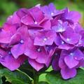 写真: 見頃の光則寺の紫陽花 #鎌倉 #湘南 #kamakura #temple #寺 #花 #flower #紫陽花