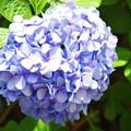 写真: 浄光明寺の紫陽花 #鎌倉 #kamakura #湘南 #寺 #temple #mysky #花 #flower #紫陽花