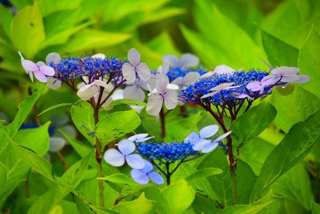 額紫陽花@浄光明寺 #鎌倉 #kamakura #湘南 #寺 #temple #mysky #花 #flower #紫陽花