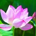 鎌倉の大賀蓮 #湘南 #鎌倉 #shonan #kamakura #花 #flower #大船フラワーセンター #大賀蓮 #lotus