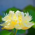 黄色の大賀蓮 #湘南 #鎌倉 #shonan #kamakura #花 #flower #大賀蓮 #lotus #mysky