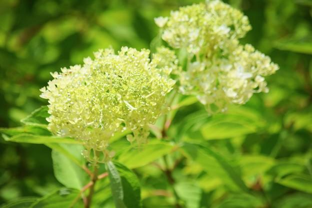 糊空木 #湘南 #鎌倉 #shonan #kamakura #花 #flower #糊空木 #mysky