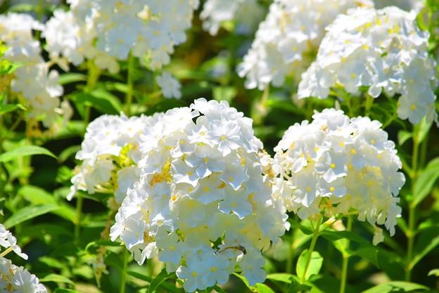 リアトリス #湘南 #鎌倉 #shonan #kamakura #花 #flower #リアトリス #mysky