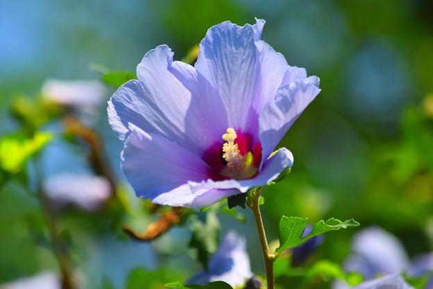木槿 #湘南 #鎌倉 #shonan #kamakura #花 #flower #木槿 #mysky