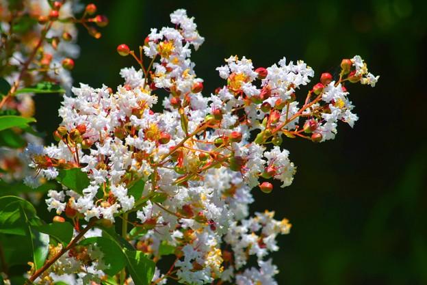 百日紅 #湘南 #鎌倉 #shonan #kamakura #花 #flower #百日紅 #mysky