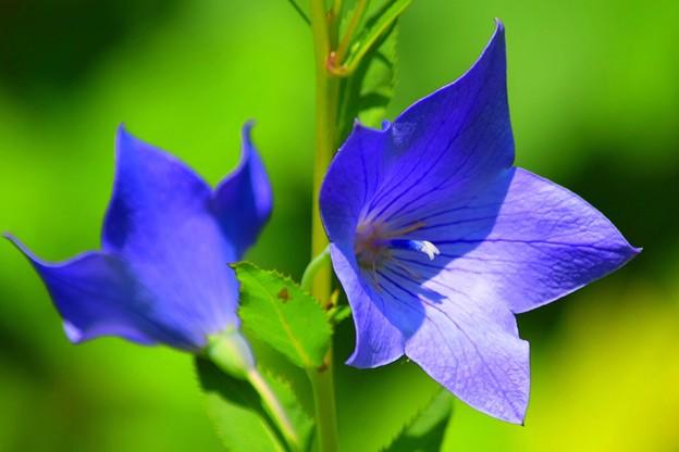 桔梗@東慶寺 #kamakura #鎌倉 #湘南 #寺 #temple #花 #flower