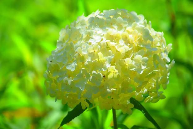 アナベル@東慶寺 #kamakura #鎌倉 #湘南 #寺 #temple #花 #flower