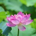 光明寺の大賀蓮 #鎌倉 #湘南 #kamakura #shonan #寺 #temple #花 #flower #大賀蓮