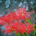 長谷寺の曼珠沙華 #湘南 #鎌倉 #kamakura #寺 #temple #mysky #花 #flower