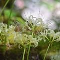 白彼岸花@長谷寺 #湘南 #鎌倉 #kamakura #寺 #temple #mysky #花 #flower