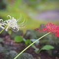 紅白の彼岸花@長谷寺 #湘南 #鎌倉 #kamakura #寺 #temple #mysky #花 #flower