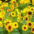向日葵畑 #鎌倉 #kamakura #湘南 #mysky #花 #flower