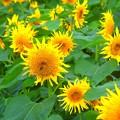 燦々と咲く向日葵 #鎌倉 #kamakura #湘南 #mysky #花 #flower