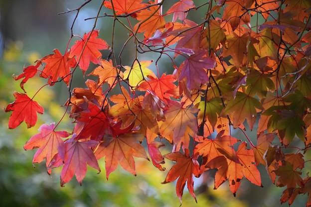 色付き始めた海蔵寺の紅葉 #湘南 #kamakura #鎌倉 #temple #寺 #mysky #紅葉 #flower #花