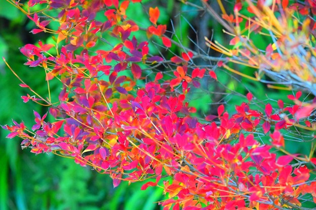 満天星躑躅@海蔵寺 #湘南 #kamakura #鎌倉 #temple #寺 #mysky #紅葉 #flower #花