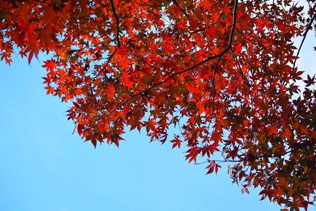 萌える海蔵寺の紅葉 #湘南 #kamakura #鎌倉 #temple #寺 #mysky #紅葉 #flower #花