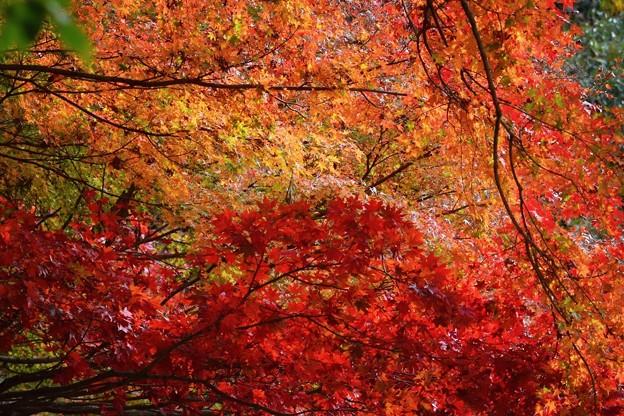 明月院の紅葉グラデーション #mysky #湘南 #kamakura #鎌倉 #temple #寺 #紅葉 #autumnleaves
