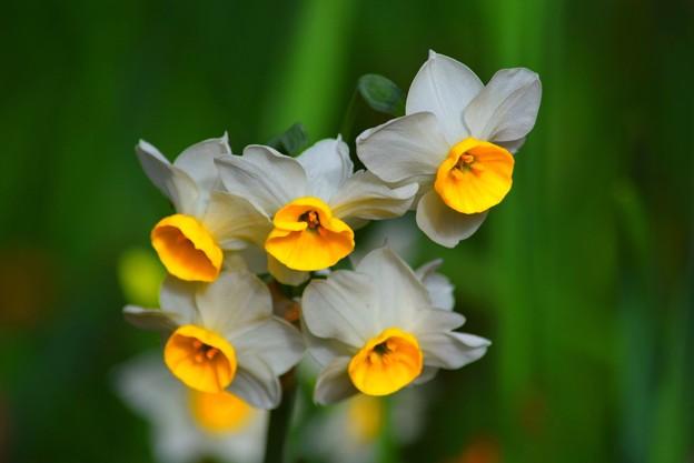 明月院の水仙 #mysky #湘南 #kamakura #鎌倉 #temple #寺 #花 #flower