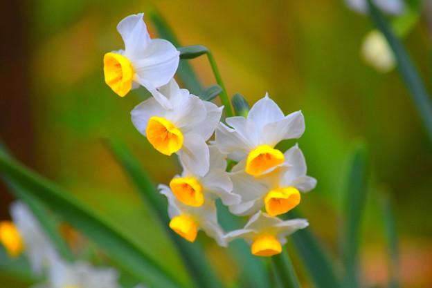 浄智寺の水仙 #湘南 #kamakura #鎌倉 #temple #寺 #mysky #花 #flower