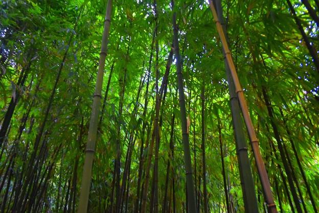 浄智寺竹林 #湘南 #kamakura #鎌倉 #temple #寺 #mysky #bamboo #竹林