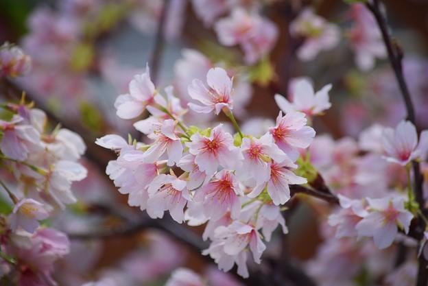 Photos: 開花した玉縄桜 #湘南 #kamakura #鎌倉 #shonan #flower #花 #mysky #桜 #cherryblossam
