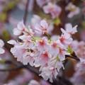 開花した玉縄桜 #湘南 #kamakura #鎌倉 #shonan #flower #花 #mysky #桜 #cherryblossam