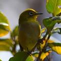 Photos: メジロ #湘南 #kamakura #鎌倉 #shonan #メジロ #animal #mysky #bird