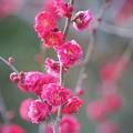 Photos: 紅梅 #湘南 #kamakura #鎌倉 #shonan #flower #花 #mysky #梅