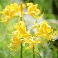 黄色の彼岸花 #湘南 #鎌倉 #花 #flower #kamakura #mysky