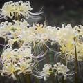 白彼岸花 #湘南 #鎌倉 #花 #flower #kamakura #mysky