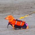 お散歩ワンコ@湘南・鵠沼海岸 #湘南 #藤沢 #海 #波 #mysky #beach #sea #surfing #dog #animal #犬