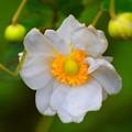 長谷寺の秋明菊 #湘南 #鎌倉 #寺 #長谷寺 #temple #kamakura #mysky #flower #花