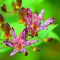杜鵑草@長谷寺 #湘南 #鎌倉 #寺 #長谷寺 #temple #kamakura #mysky #flower #花