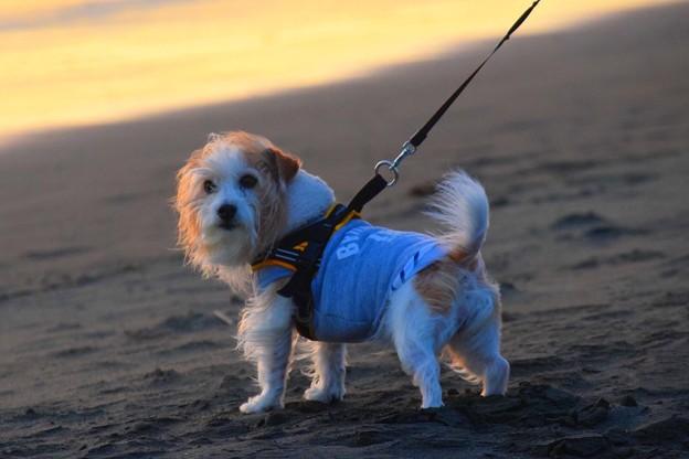 お散歩ワンコ@湘南・鵠沼海岸 #湘南 #藤沢 #海 #波 #wave #surfing #サーフィン #animal  #dog #犬