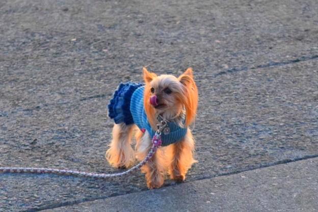 お散歩ワンコ@湘南・鵠沼海岸 #湘南 #藤沢 #海 #波 #wave #surfing #sea #犬 #animal #dog