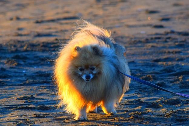 お散歩ワンコ@湘南・鵠沼海岸 #湘南 #藤沢 #海 #波 #wave #surfing #sea #animal #dog #犬