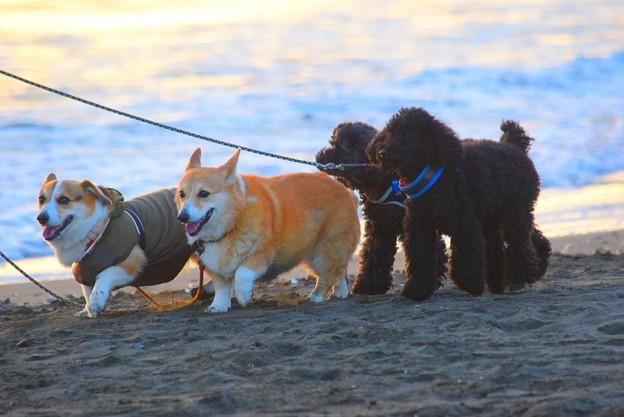 お散歩ワンコ@湘南・鵠沼海岸 #湘南 #藤沢 #海 #波 #wave #surfing #sea #mysky #dog #animal #犬