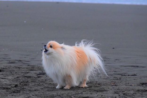 お散歩ワンコ@湘南・鵠沼海岸  #湘南 #藤沢 #海 #波 #surfing #mysky #sea #犬 #dog #animal