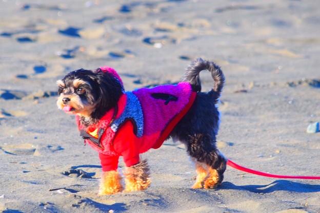お散歩ワンコ@湘南・鵠沼海岸 #湘南 #藤沢 #海 #波 #wave #surfing #animal #mtfuji #犬 #dog